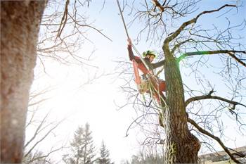 Bowling Green Tree