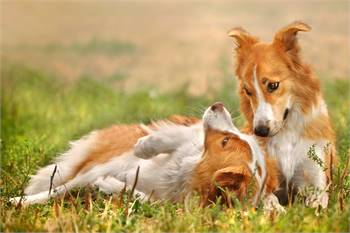 Dog Breeds for Sale - Central Park Puppies