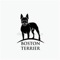 Boston Terrier Puppies Boston Terrier  Puppies